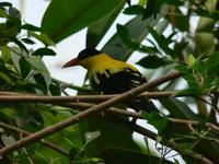 Oriolus chinensis - Black-naped Oriole