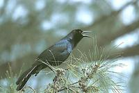 Image of: Quiscalus major (boat-tailed grackle)
