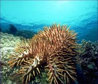Image of: Acanthaster planci (crown-of-thorns starfish)