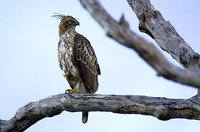 Changeable Hawk-Eagle - Spizaetus cirrhatus