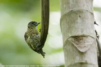 Bar-breasted Piculet - Picumnus aurifrons