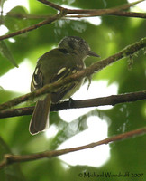 Slaty-capped Flycatcher - Leptopogon superciliaris