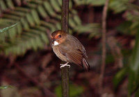 Rufous-browed Flycatcher - Ficedula solitaris