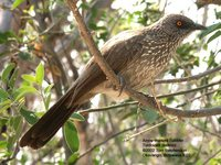 Arrow-marked Babbler - Turdoides jardineii