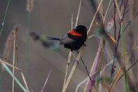 Red-backed Fairywren - Malurus melanocephalus