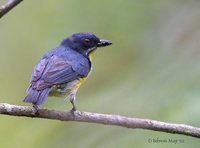 Crimson-breasted Flowerpecker - Prionochilus percussus