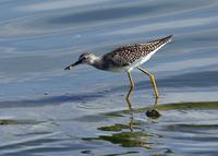 Lesser Yellowlegs at Ceres STP 8/14/04 © 2004 Jim Gain