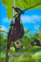 Chameleon descending branch , Masoala peninsula , Madagascar stock photo