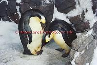 ...FT0143-00: Pair of Emperor Penguins about to exchange their egg. Captive birds. SeaWorld, San Di