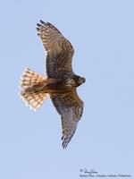 Eastern Marsh-Harrier (subad female)