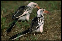 : Tockus erythrohynchus; Red-billed Hornbill