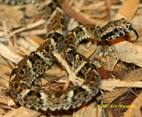 : Bothrops leucurus; White Tail Lancehead