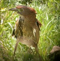 Japanese Night Heron » Gorsachius goisagi