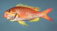 Anthias nicholsi, Yellowfin bass: