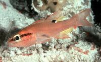 Apogon evermanni, Evermann's cardinalfish:
