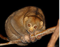 Image of: Nycticebus coucang (slow loris)