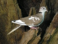 Streptopelia roseogrisea - African Collared-Dove