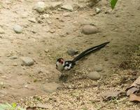 Image of: Vidua macroura (pin-tailed whydah)