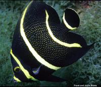 Pomacanthus paru - French angelfish