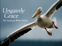 Pelican Grace @ National Geographic Magazine