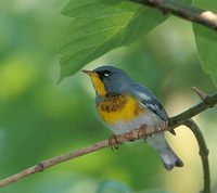 Northern Parula (Parula americana) photo