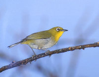 Japanese White-Eye (Zosterops japonicus) photo