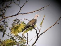 Green Imperial-Pigeon - Ducula aenea