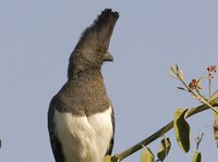 White-bellied Go-away-bird - Corythaixoides leucogaster