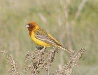 * Red Headed Bunting