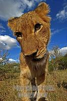 Lioness , portrait stock photo
