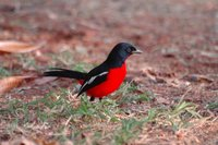 : Laniarius atrococineus; Crimson-breasted Shrike