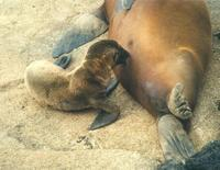 Image of: Zalophus californianus (California sea lion)