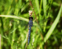 Image of: Libellula incesta