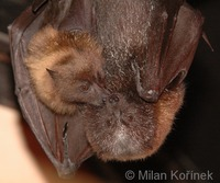 Pteropus rodricensis - Rodriguez Flying Fox