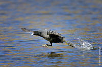 Image of: Fulica americana (American coot)