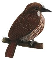 Image of: Malacoptila panamensis (white-whiskered puffbird)