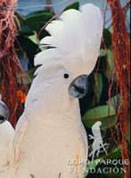 White Cockatoo - Cacatua alba