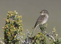 Gray Flycatcher (Empidonax wrightii) photo