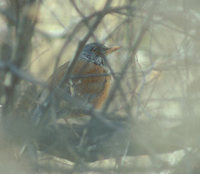 Rufous-backed Robin (Turdus rufopalliatus) photo