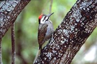 Bearded Woodpecker - Dendropicos namaquus