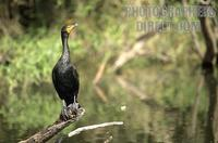 Double crested Cormorant , Big Cypress National Preserve , Florida stock photo