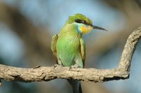 : Merops hirundineus; Swallow-tailed Bee-eater