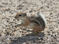 : Ammospermophilus nelsoni; Nelson's Antelope Squirrel