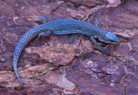 : Xantusia vigilis; Desert Night Lizard