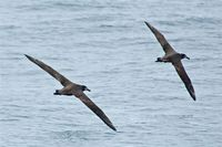 Black-footed Albatross. 14 October 2006. Photo by Earl Orf