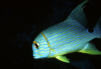 Symphorichthys spilurus, Sailfin snapper: fisheries, aquarium