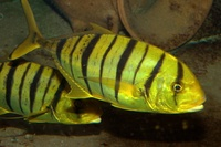 Gnathanodon speciosus - Golden trevally