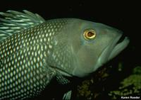Centropristis striata - Black Sea Bass
