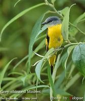 Grey-chinned Minivet - Pericrocotus solaris