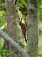 Barred Woodcreeper (Dendrocolaptes certhia) photo